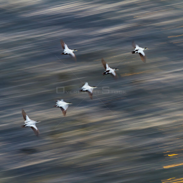 Group of male Common eiders (Somateria mollissima) in flight, Iceland, June.