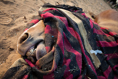 A horse lies dead at the Pushkar Camel Mela, Pushkar, Rajasthan, India.