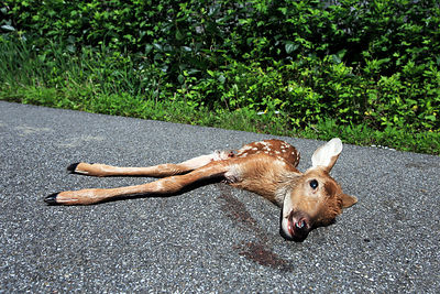 A road-killed baby deer lies severed in half on a roadway in the Catskills, New York