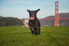 Chocolate lab running in front of golden gate bridge