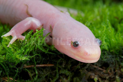 Axolotl (Ambystoma mexicanum) photos