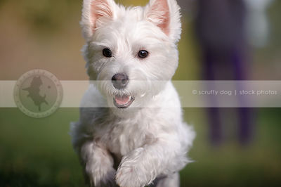 cute little white westie dog running with minimal background
