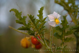Flower and fruit of a wild tomato plant.