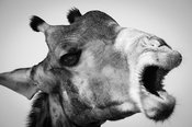 6254-The_giraffe_looks_like_the_camel_Laurent_Baheux