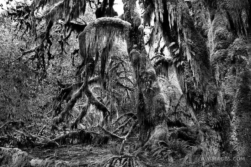 HALL OF MOSSES TRAIL HOH RAINFOREST OLYMPIC NATIONAL PARK BLACK AND WHITE