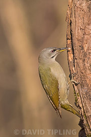 Grey-headed Woodpecker Picus canus female Hortobagy National Park Hungary January