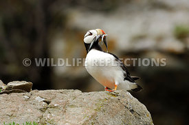 Horned Puffin Mouthful of Fish Lookout