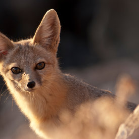 Kit Fox wildlife photos