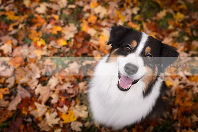 happy dog smiling up from colorful autumn leaves