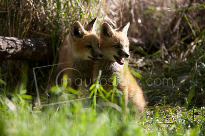 Red Fox_MG_5432