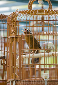 Hwamei singing in cages in suburb of Singapore