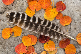 Wild Turkey Feather with Autumn Aspen Leaves  in Great Basin National Park