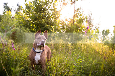 beautiful brindle pit bull standing in sunlit summer meadow