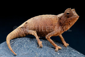 Brookesia stumpffi, Plated leaf Chameleon, Madagascar