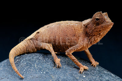 Plated leaf chameleon (Brookesia stumpffi) photos