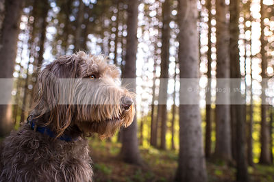 headshot of bearded shaggy brown dog in pine trees