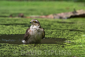 Eurasian Sparrowhawk Accipiter nisus female bathing in woodland pool North Norfolk summer