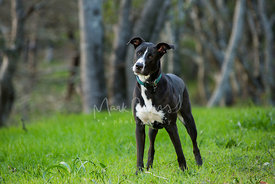 Curious Black and White Pitbull Mix Standing in Grass With Head Tilted