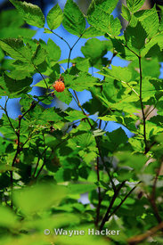 Rubus spectabilis (salmonberry) is a species of brambles.