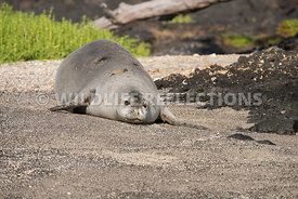 hawaiian_monk_seal_big_island_02062015-60