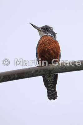 Male Ringed Kingfisher (Ceryle torquata)