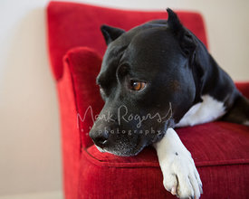 Close-up of Black and White Pitbull in Chair