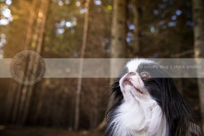 portrait of small white and black dog looking skyward in forest