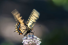 Anise Swallowtail Butterfly, Alviso, CA, USA (Honorable Mention, Nature Photographer Magazine Contest, Dec 2012)