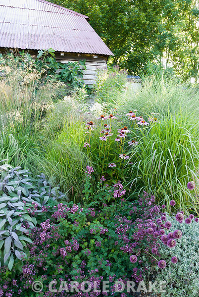 Salvia officinalis 'Purpurascens', Origanum vulgare, Allium sphaerocephalon, Echinacea purpurea, Molinia 'Transparent', Stipa gigantea and miscanthus in border in front of red tin barn roof in walled garden. Broughton Buildings, Broughton, nr Stockbridge, Hants, UK