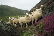 Welsh Mules out of Welsh Mountain ewes , sired by Blue Faced Leicester ram on moorland
