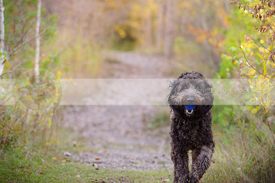 large black shaggy dog carrying ball down trail to camera