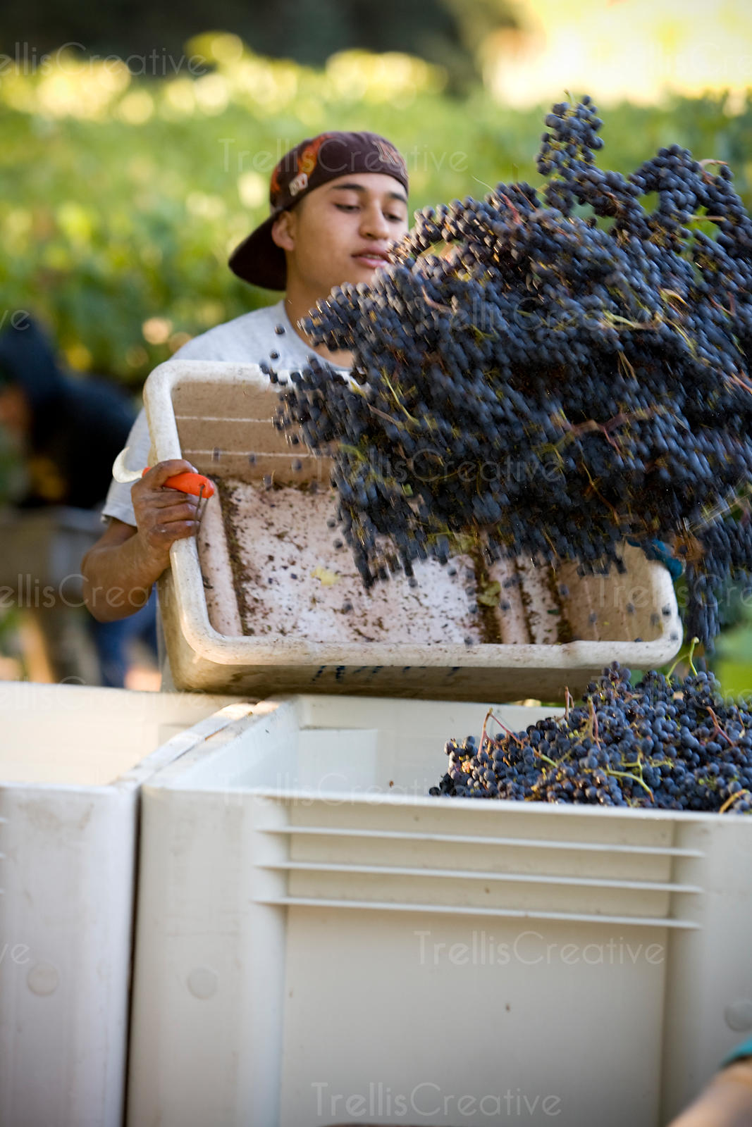 Vineyard worker tosses harvested grapes into the tractor