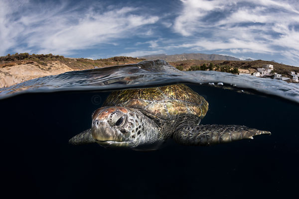 Green turtle in Tenerife