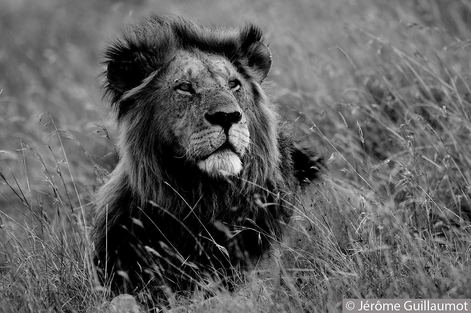 j r me guillaumot photographe animalier lion en noir et blanc. Black Bedroom Furniture Sets. Home Design Ideas