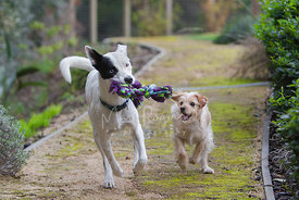 Two dogs running and playing with a rope toy on a path