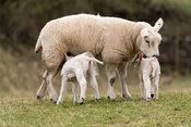 Texel ewe with twin lambs, which are wearing plastic waterproof coats. Yorkshire, UK.