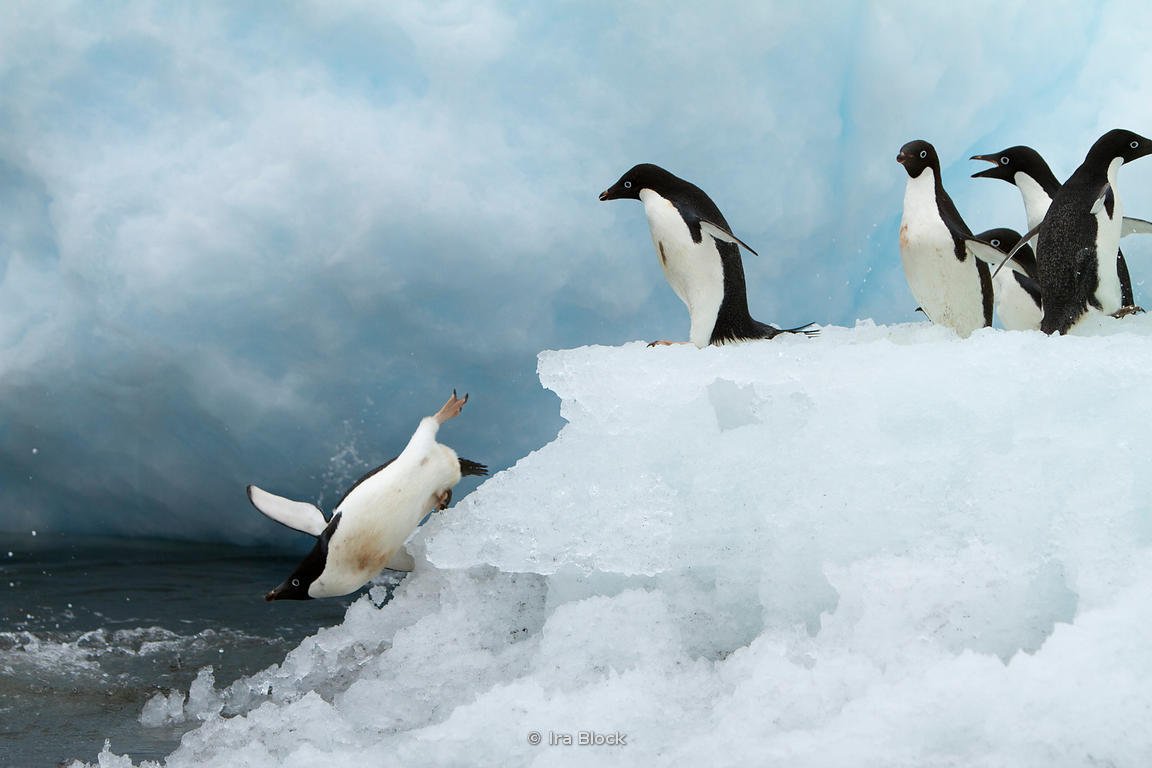 Adelie penguins jumping into the ocean around the Antarctic Peninsula.