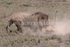 lion_attack_19