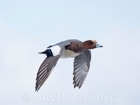Wigeon Anas penelope male salthouse Norfolk February