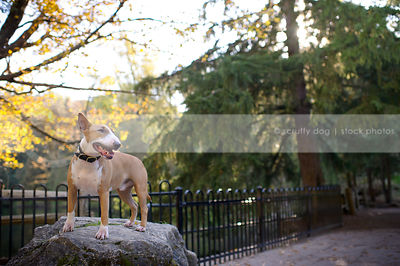 tan and white dog standing on boulder near iron fence in park