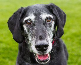 Smiling Senior Black Dog with White Face Looking Toward Camera