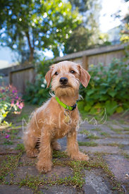 Cute Terrier Mix Puppy Sitting on Brick Patio in Garden