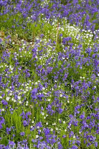 Bluebells and greater stitchwort mingle on the sloping sides of the Dell.