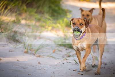 two mixed breed tan dogs playing fetching ball in sand dunes