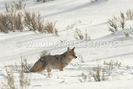 coyote_snow_valley_2