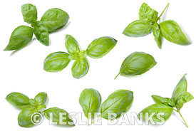 Basil Leaves Collection