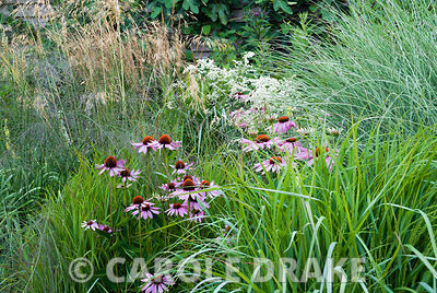 Echinacea purpurea surrounded by grasses Calamagrostis brachytricha, Molinia 'Transparent', Miscanthus 'Morning Light' and Stipa gigantea. Broughton Buildings, Broughton, nr Stockbridge, Hants, UK