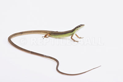 Long-tailed grass lizard (Takydromus serpentrionalis) photos