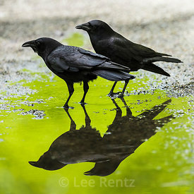 BLACK CROWS AND SPRING GREENS