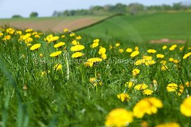 Herefordshire dandelions